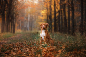 Nova Scotia Duck Tolling Retriever sitting in front looks. obedient dog outdoors in autumn season