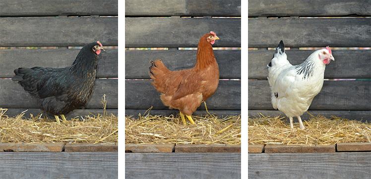Opération adoption de poules : c'est reparti !
