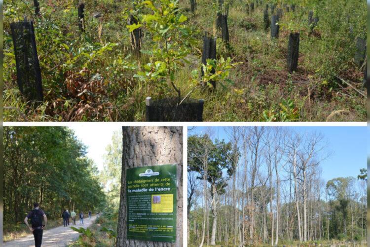 La forêt domaniale de Marly touchée par la maladie de l'encre